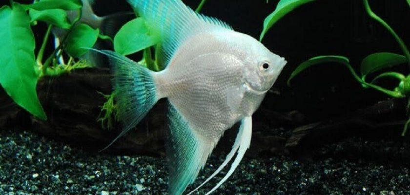 معرفی و آموزش نگهداری ماهی آنجل