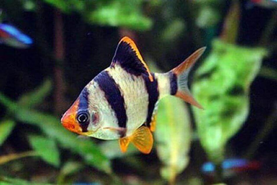 معرفی و نگهداری ماهی بارب